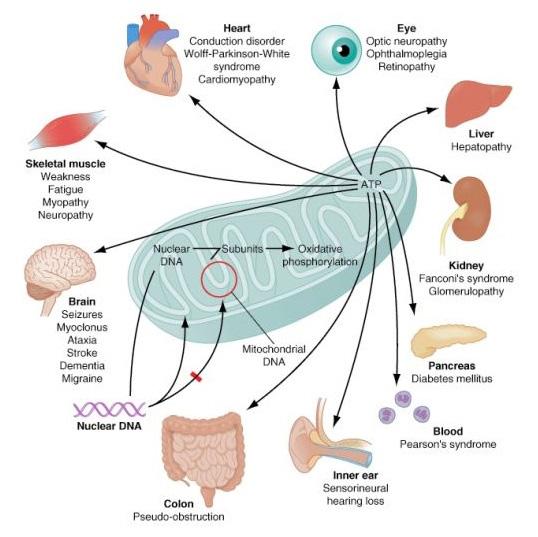mitocondria2